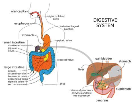 Eiweißverdauung enzyme