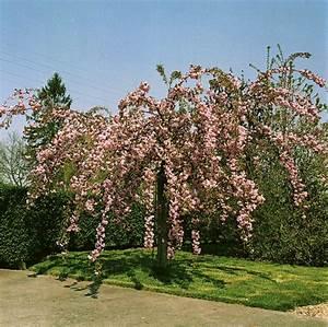 Rosa Blühende Bäume April : home baumschulinfo baumschulen und staudeng rtner sterreich japanische h ngekirsche ~ Michelbontemps.com Haus und Dekorationen