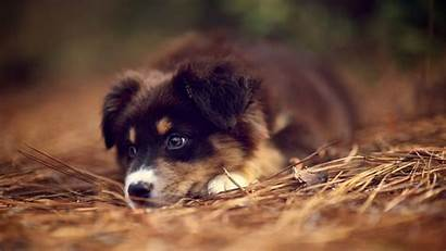 Shepherd German Puppies Puppy Dog Australian Wallpapers