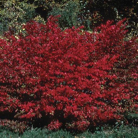 burning bush plant burning bush euonymus alatus burning bush winged spindle tree fine gardening plant guide