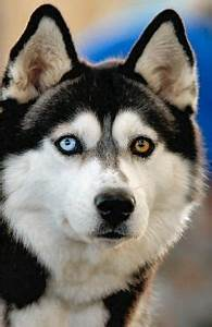 Siberian Husky - check out this dog's beautiful eyes, a ...