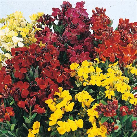 wallflower sunset mixed super erysimum bowl plants garden encyclopedia plant seeds thompson morgan biennial perennial bedding