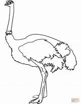 Coloring Ostrich Pages Drawing Printable Paper Crafts sketch template