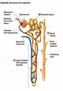 How Do Kidney Cells Excrete Their Own Wastes