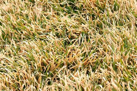 season warm grass dormant lawn winter grasses cold go during seed pennington months centipede