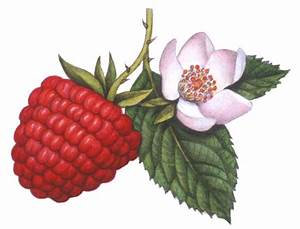 Red raspberry on a stem with leaves and a raspberry flower ...