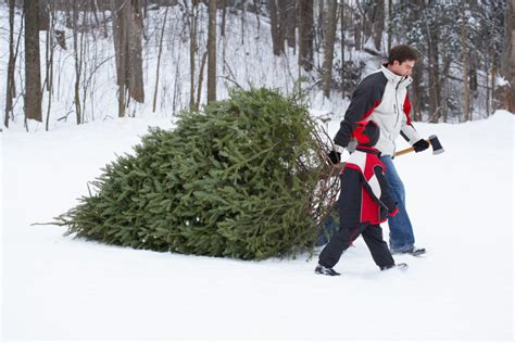 Fraser Christmas Tree Cutting by Guide To New England Christmas Tree Farms New England Today