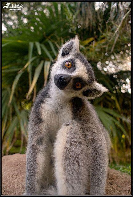 king zoo lemur julien animals funny animal lemurs madagascar julian move complete without cute martin movie yoga baby wildlife es