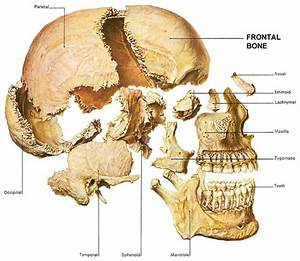 1000+ images about skeleton skull bones | human on ...