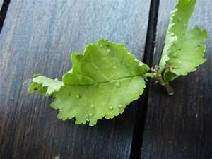 Hortensien Blätter Werden Braun Frost : goldulme bl tter werden braun baumkunde forum ~ Lizthompson.info Haus und Dekorationen