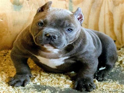 list  american bully names   dogs updated