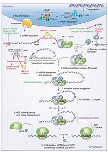 Eukaryotic Translation Initiation  Mrna Maturation And Nuclear Export