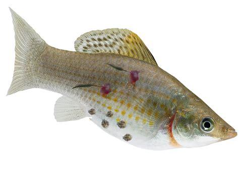 treat  visible parasite  aquarium fish pond