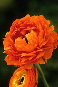Best 25 Orange flowers ideas on Pinterest