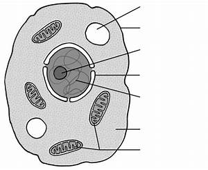 Diagram Of Plant And Animal Cell With Label