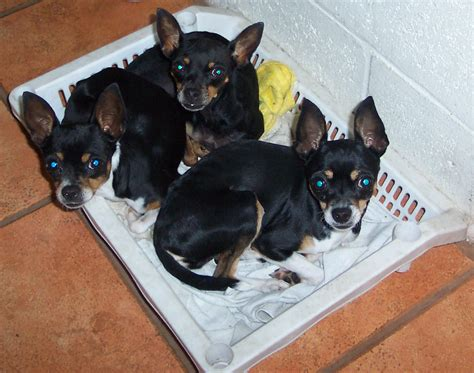 Filethree  Ee  Chihuahua Puppies Ee   In A Basket Jpg Wikimedia