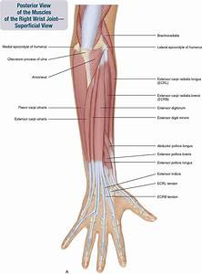 7  Muscles Of The Forearm And Hand