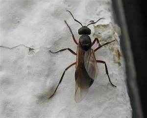 Ameisen Mit Flügel : k nigin der schwarzen wegameise lasius niger m nchen ~ Buech-reservation.com Haus und Dekorationen