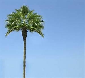 Palm Trees: A California Trademark   Tres Mali Scott's ...