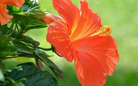 Hibiscus Flower Backgrounds by Hibiscus Wallpaper 50 Images