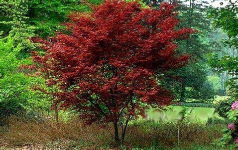 japanese maples richmond cross creek nursery landscaping