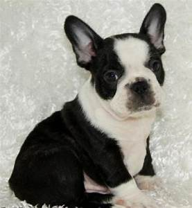 black and white french bulldog puppies for sale | Zoe Fans ...