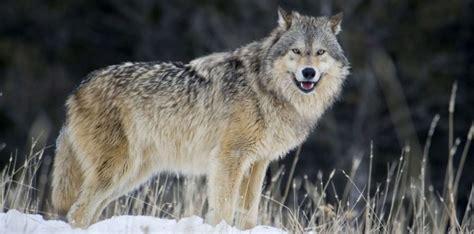 faut il avoir peur du loup sciencesetavenir fr