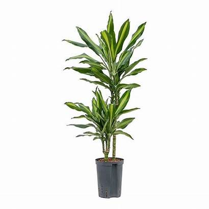 Cintho Dracaena Stem Multi Hydroculture Plant Houseplants