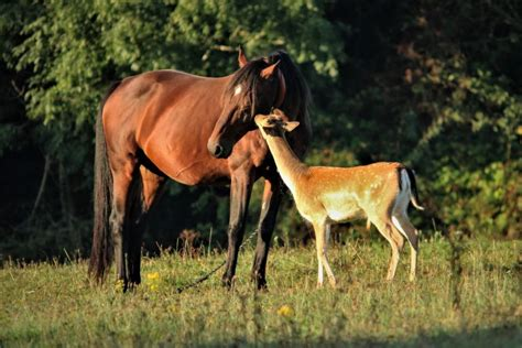 deer field foal horse horses young fawn friends groom playing play orphaned visits every gently edge woodland each adopted heartwarming