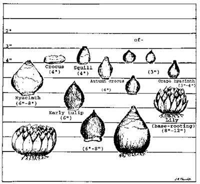 how to plant bulbs in colorado csu