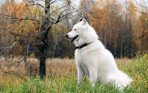 Husky Rescue – SA Coat colors of the Siberian Husky ...