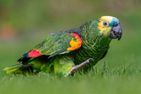 blue fronted blue fronted parrot amazona aestiva exotic birds pets