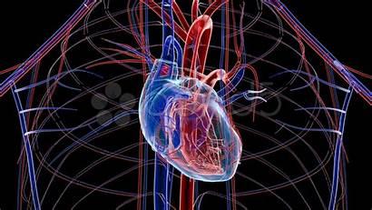 Heart Human Circulatory System Wallpapers Cardiology 3d