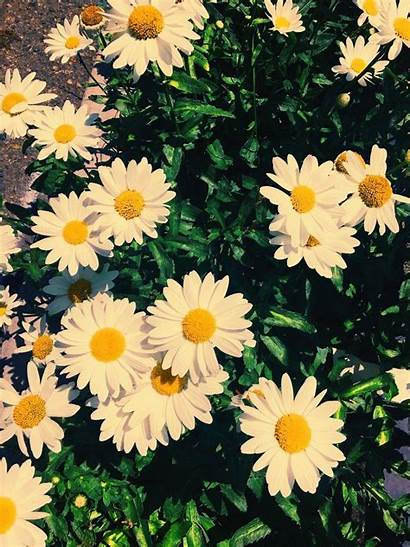 Daisy Wallpapers Awesome
