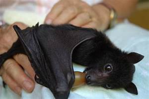 How Australian Bat Lyssavirus changed it all