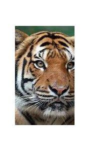 Tiger Conservation - Cincinnati Zoo & Botanical Garden ...