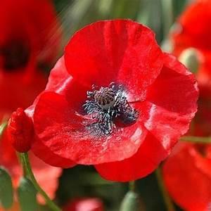 Red Corn Poppy Flower Seeds - Papaver rhoeas