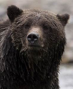 Bear 88 Faces Death After Attacking Cars In Alberta
