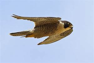 Peregrine Falcon Flight : Birds of Prey, Baja Birds ...