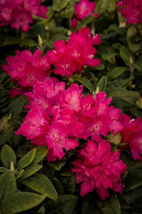 rhododendron growing zones hellikki red rhododendron for sale online the tree center