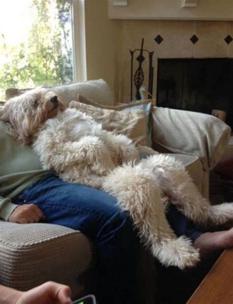 wheaten terrier ideas  pinterest golden