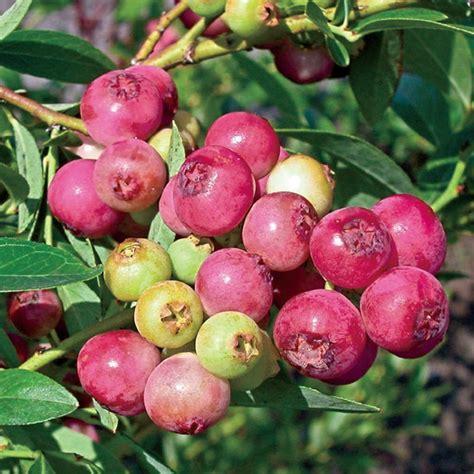 pink lemonade blueberry pink lemonade blueberry henry field s seed nursery co