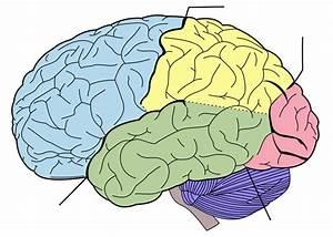 Free Printable Blank Brain  Download Free Clip Art  Free
