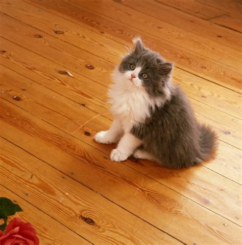 cleaning cat urine smell  hardwood floors thriftyfun