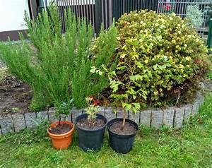Lebensbaum Hecke Schneiden : thuja hecke pflanzen thuja hecke lebensbaum smaragd ~ Lizthompson.info Haus und Dekorationen