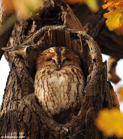 What A Hoot  Tawny Owl's Cover Is Blown As The Autumn