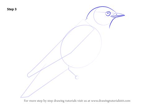 learn how to draw an eastern bluebird birds step by step