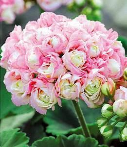 Schöner Garten Shop : stehende geranie appleblossom 3 pflanzen im mein sch ner garten shop gartenideen pinterest ~ Eleganceandgraceweddings.com Haus und Dekorationen