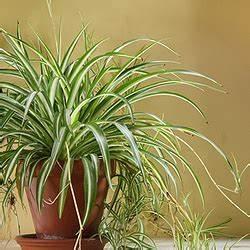 Zimmerpflanze Lange Grüne Blätter : gr ne zimmerpflanzen f r haus wohnung und wintergarten ~ Markanthonyermac.com Haus und Dekorationen