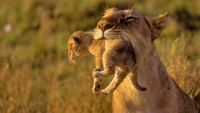 Animals Africa African Cubs Lions 1080 1920